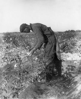 agriculture/north carolina cotton man picking cotton north