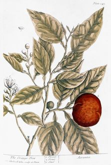 ORANGE TREE, 1735. Engraving by Elizabeth Blackwell from her 'A Curious Herbal&#39