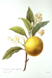 ORANGE TREE /n(Citrus aurantium). Engraving after a painting, by P.J. Redoute.