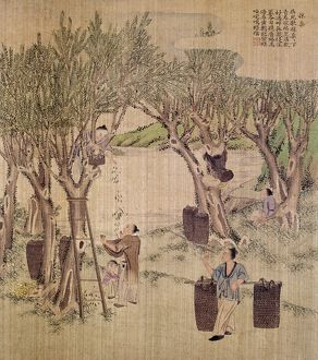 Picking mulberry leaves for silkworm culture. Chinese silk painting, c1650-1726.