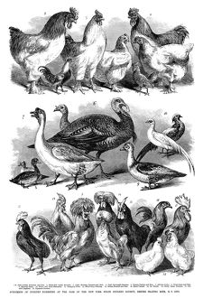 POULTRY, 1869. 'Specimens of poultry exhibited at the fair of the New York State