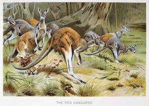 RED KANGAROO. Lithograph, late 19th century, after Wilhelm Kuhnert.