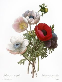 REDOUTE: ANEMONE, 1833. /nAlso called a Windflower