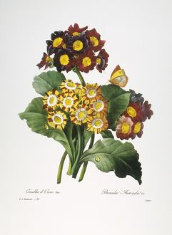 REDOUTE: AURICULA, 1833. /nAuricula (Primula auricula): engraving after a painting