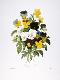 REDOUTE: PANSY, 1833. /nJohnny-jump-up pansies (Viola tricolor)