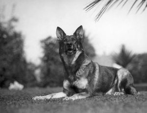 RIN-TIN-TIN (1916-1932). American canine actor.
