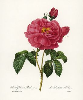 ROSA GALLICA. /nEngraving after a painting by Pierre Joseph Redout
