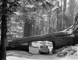 SEQUOIA NATIONAL PARK. An automobile in a tunnel log, cut through a fallen giant sequia tree in Sequoia National Park, California. Photograph, c1957.