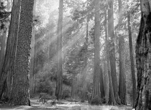 SEQUOIA NATIONAL PARK. Sun rays filtering through the forest in Sequoia National Park, California