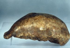 SKULL OF JAVA MAN. Lateral view of cast of skull of Java Man (Pithecanthropus erectus)