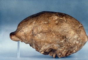 SKULL OF PEKING MAN. Lateral view of cast of skull of Peking Man (Homo erectus).