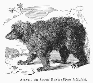 SLOTH BEAR. Asiatic or sloth bear (Ursus labiatus). Line engraving, 19th century.