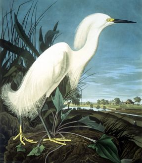 SNOWY HERON from the Elephant Folio by John James Audubon.