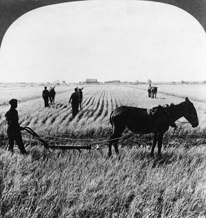 SOUTH CAROLINA: RICE, 1904. Workers in a rice field in South Carolina. Stereograph