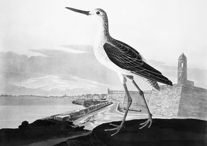 ST. AUGUSTINE, FLORIDA. Greenshank (Totanus glottis), with view of St. Augustine and Fort Marion