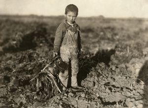 SUGAR BEET WORKER, 1915. Six-year old boy pulling beets on his parents farm near Sterling