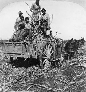 SUGAR PLANTATION, 1901. Men working on a sugar plantation near New Orleans, Louisiana