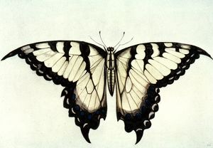 SWALLOW-TAIL BUTTERFLY. Watercolor, c1585, by John White.