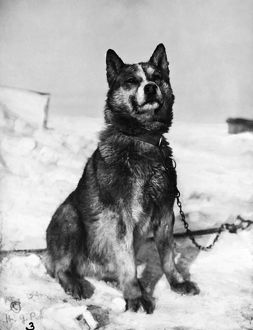 TERRA NOVA EXPEDITION. Chris, one of the sled dogs of the Terra Nova Expedition to the South Pole