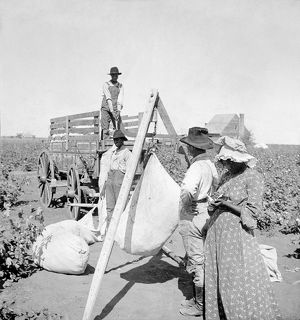 TEXAS: COTTON FIELD, c1904. African American workers weighing cotton in a field in Texas