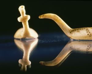 Thule culture Inuit ivory game pieces.