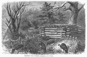TRAPPING WILD TURKEYS, 1868. Wood engraving after a sketch by Alfred A. Waud, 1868
