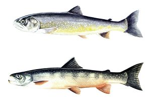 TROUT. The Sunapee trout (Salvelinus aureolus), adult female (top) and adult male