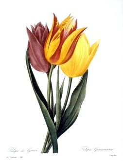 TULIP (TULIPA GESNERIANA). /nEngraving after painting, 1833, by P.J. Redoute.