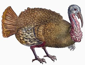TURKEY, 1560. Wild Turkey (Meleagris gallopavo)