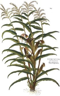 TURKISH CORN, 1735. Engraving from Elizabeth Blackwell's 'A Curious Herbal