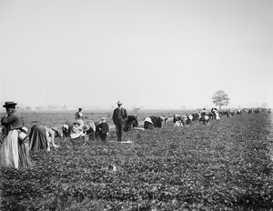 VIRGINIA: STRAWBERRY FARM. A white overseer and two children observe the harvest
