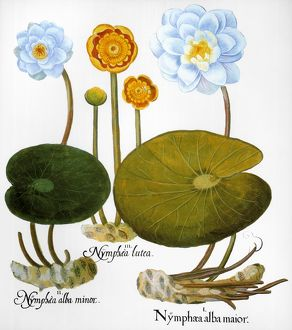 WATER LILY, 1613. /nLeft and right: European white water lily (Nymphaea alba), center