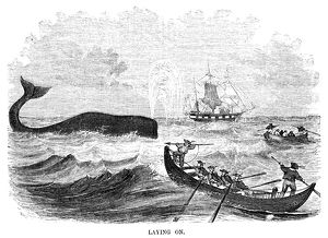 WHALING, 1855. 'Laying On.' American whalers attempt to harpoon a whale