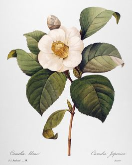 WHITE CAMELLIA /n(Camellia japonica). Engraving after a painting by Pierre-Joseph Redout