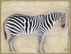 ZEBRA, c1620. Painting of a Zebra commissioned by Jahangir, Mughal emperor of India