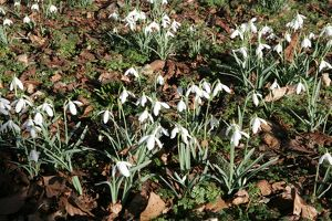 The National Collection of Snowdrops