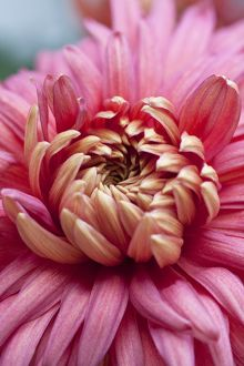 Chrysanthemum 'Bronze Mayford Perfection'