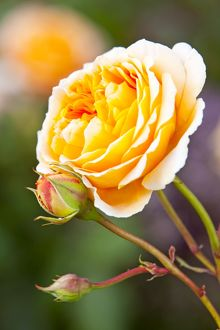 Rosa [Crown Princess Margareta] = 'Auswinter'