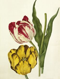 Tulipa 'The Claude', Tulipa 'Duke of Sutherland'