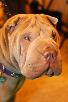 Lily the Shar Pei dog at the London Pet Show 2013