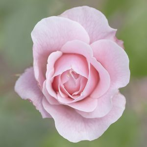 A beautiful pink rose at Poolewe, Scotland