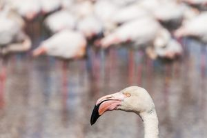 A greater flamingo at the Pont de Gau Ornithological Park, France