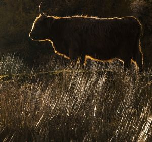 A highland cow at Glen Lonan in Argyll and Bute, Scotland.