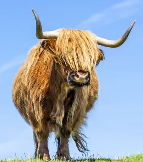 A highland cow in Lewis, Scotland