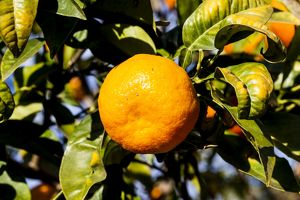 An orange growing in Moncofa, Spain.