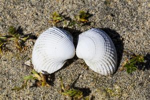 A pair of sea shells at Luskentyre in Scotland.