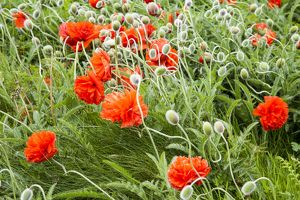 Roadside poppies in Orkney, Scotland.