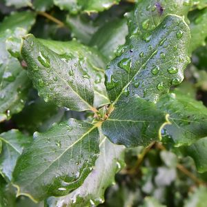 CM5 8835 leaves with water droplets