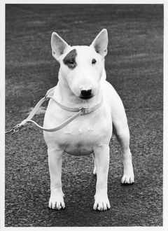 FALL/CRUFTS/BULL TERRIER