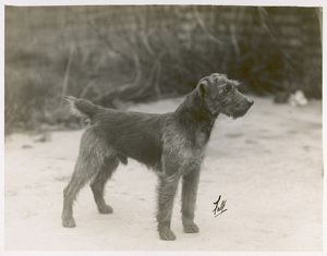 FALL/WELSH TERRIER/1931